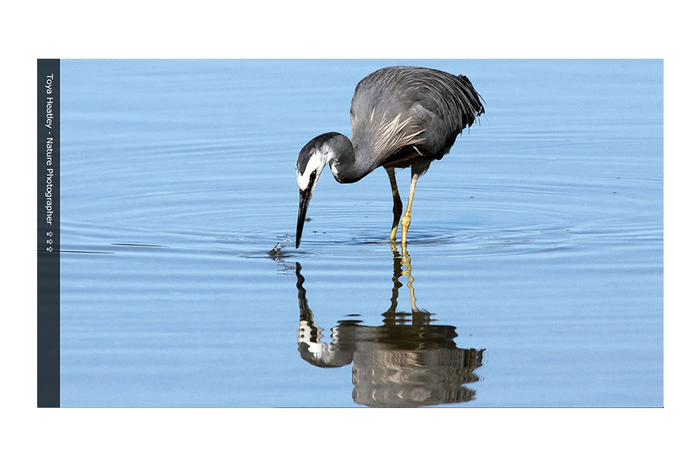 The ToyaHeatley.com Front Page Slider Featuring A White Faced Heron.